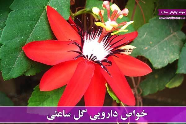 خواص گل ساعتی + خواص میوه گل ساعتی (پشن فروت)