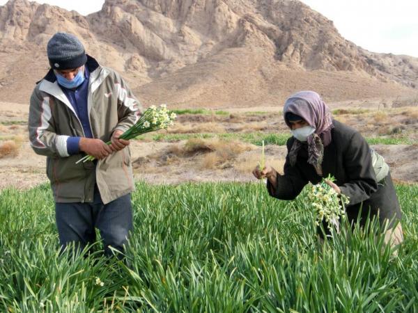 خبرنگاران برداشت گل نرگس از مزارع خوسف