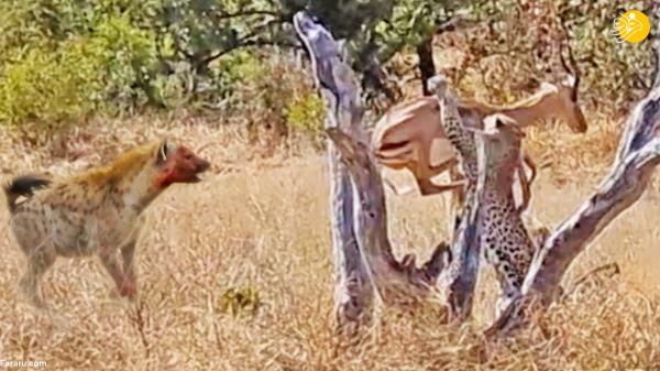 پرش پلنگ برای شکار ایمپالا
