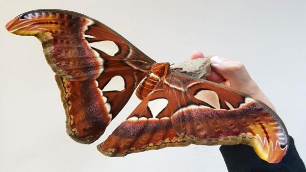 فریب صوتی، روش پروانه ها برای فرار از دست خفاش ها